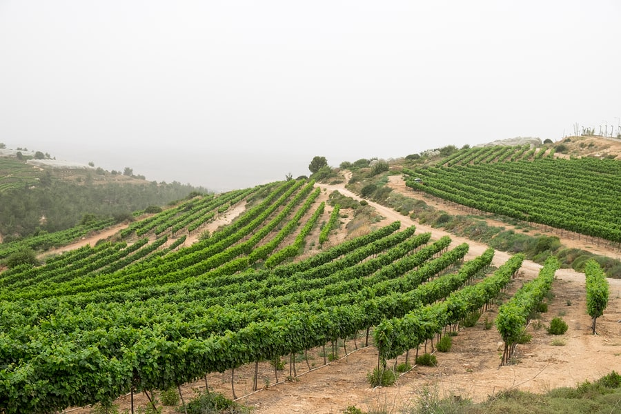 Green Vineyard Terrace at Judaean Mountains